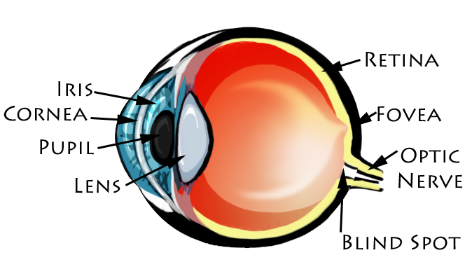 Eye diagram colored diy enthusiasts wiring diagrams basics of the eye enya s blog rh fsfl4 weebly com colored eye ball diagram eye muscles diagram ccuart Images